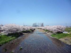 糸島桜1-09
